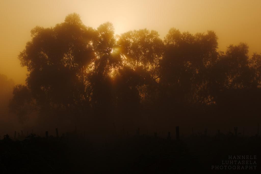 Eucalyptus Sunrise